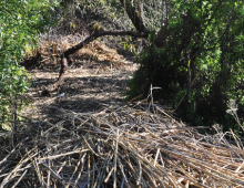 Arundo Eradication San Luis Obispo Creek Watershed